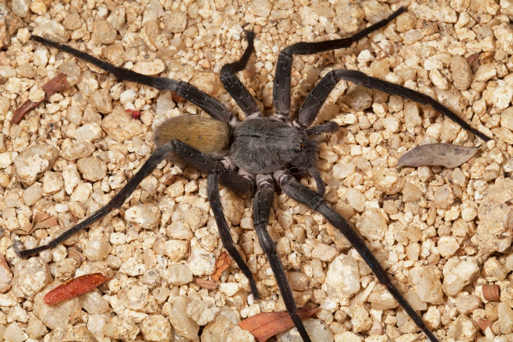 International Team Discovers Large Cave Dwelling Spider