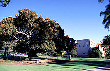 Moreton Bay Fig on north side of Museum. Photo: D. Clark