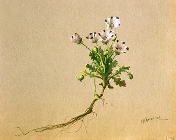 Nemophila maculata (Five-spot)Painted by Albert Valentien, © San Diego Natural History Museum