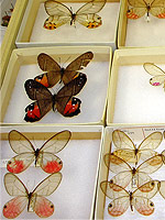 Entomology Butterfly Collection