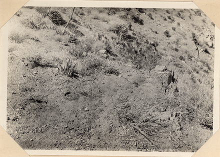 Bighorn (Ovis canadensis) bedding place in Deep Canyon, 1908. Joseph Grinnell