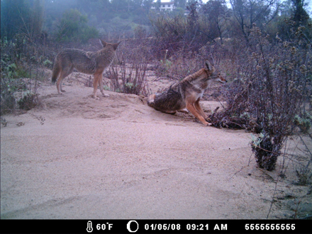 Coyotes photographed by use of motion-detecting camera.