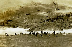 Sea lions frolicking off Guadalupe Beach, April 1924