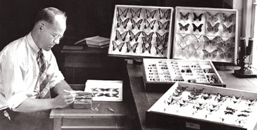 Harbison working on his butterfly collection at the museum, February 1937.