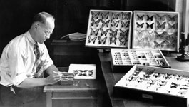 Harbison working on his butterfly collection at the museum, February 1937