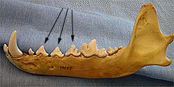 Coyote jaw showing teeth wear