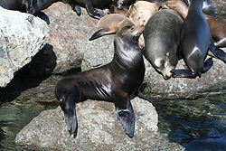 Female California Sea Lion