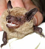 Big brown bat, Eptesicus fuscus. Photo by Drew Stokes and Cheryl Brehme of USGS