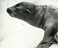 Young Sea Lion, Photo by Averett Cont