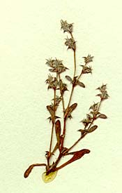 Chorizanthe orcuttiana - from the San Diego Natural History Museum herbarium