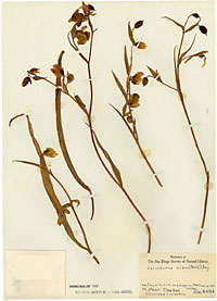 Calochortus albus collected June 14, 1881, at Cuyamaca by Daniel Cleveland