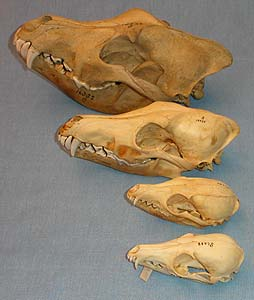 Canid skulls (dog family)