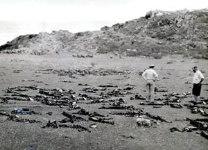 Sea lion carcasses off Guadalupe Beach, April 1924
