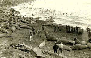 Corralling elephant seals, Guadalupe Island, 1926