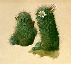 Mammilaria dioica (Fish-hook cactus)  Painted by Albert Valentien, © San Diego Natural History Museum