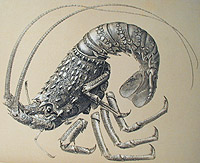 Illustration of rock lobster, Palinostus lalandii, from Africa, from