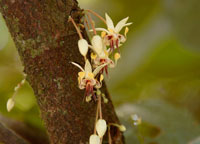 Budding cacao flowers. © Robin Foster, The Field Museum