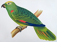 Painting of Psittacus ochrocephalus, from Chile, from The U.S. Naval Astronomical Expedition to the Southern Hemisphere, 1849-52.