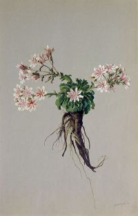 Howell's Lewisia: Lewisia howellii