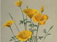 California Poppy: Eschscholzia californica