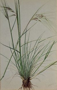 Purple Needle-grass: Nassella pulchra