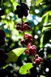 005_Coffee_cherries.jpg