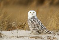 Snowy-Owl-Long-Island-Ny-January-2014.jpg