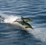 Lindblad Expeditions: Common dolphins skimming the surface, Baja 2005