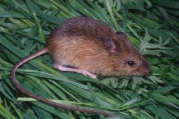 Zapus trinotatus: Pacific Jumping Mouse  © 2005 William Leonard