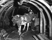 People bred small Shetland ponies to work in coal mine shafts.