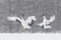Red-crowned-Cranes-displaying-in-snow--Natures-Best-honored-_90Z9944--Tsurui-Itoh-Sanctuary-Hokkaido-Japan.jpg