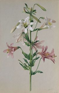 Washington Lily: Lilium washingtonianum