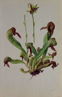 California Pitcher Plant: Darlingtonia californica