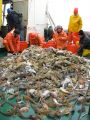 To study Antarctic marine animal populations, NOAA AMLR scientists use trawl nets to haul in large catches. In this catch are glass sponges, sea stars, and several species of icefish. Photo Credit: NOAA/SWFSC/Jon Moore, 2009, Yuzhmorgeologiya