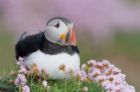 Atlantic-Puffin-in-flowers-_MG_0353---Saltee-Island----Ireland.jpg