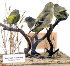 American Goldfinch & MacGillivray's Warbler (Carduelis tristis & Oporornis tolmiei)