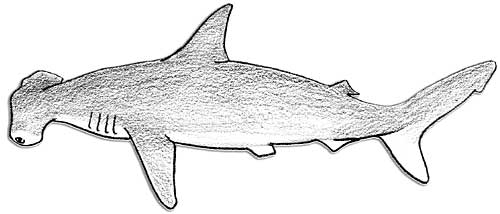 great white shark body parts diagram  great  tractor